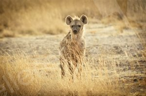Hyäne schaut in die Kamera