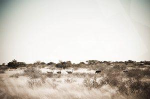 Straussenherde in der Wüste von Namibia
