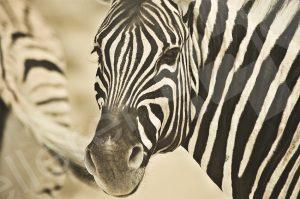 Zebra schaut in die Kamera